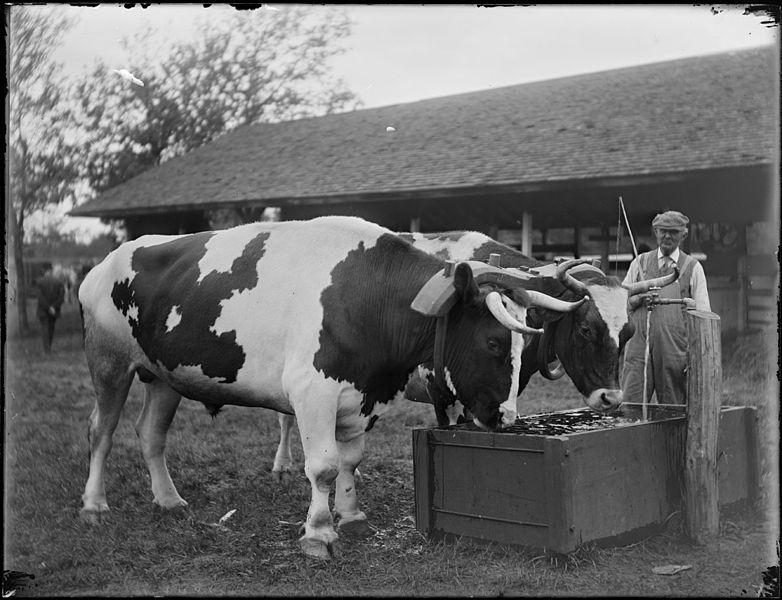 ペアに繋がれた雄牛が水を飲む